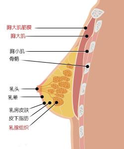 胸部组织结构